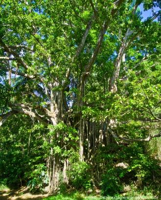 gosier - plage arbre préféré