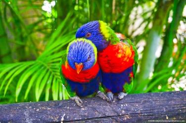 jardin botanique - couple de lorriquets