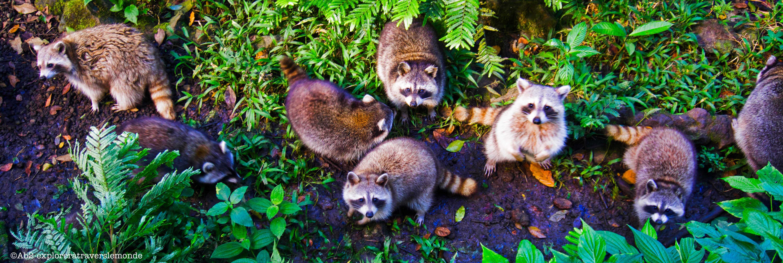 zoo de guadeloupe - les ratons