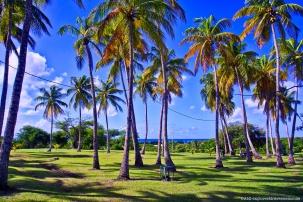 marie-galante - palmier dumat