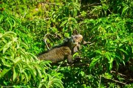 petite-terre iguane