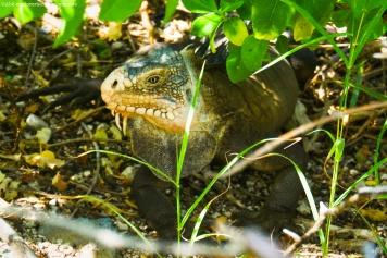 petite-terre - iguanes