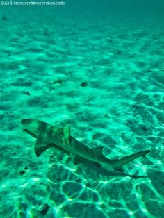 petite-terre - requin citron