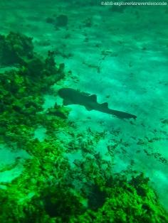 petite-terre - requin nourrice