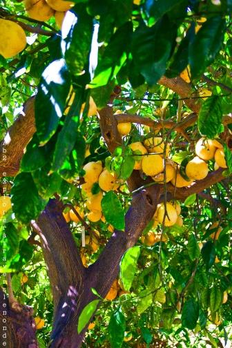 Les citrons du jardin